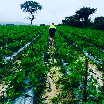 Descripción de foto - hombre caminando entre el campo de cultivo de café en San Jerónimo Baja Verapaz - Crédito de foto - gt.omar_3102