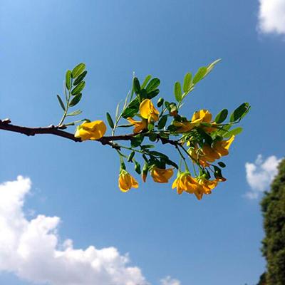 Descripción de foto para personas ciegas - Vista de las flores del árbol de Guachipilín colgados de una rama. - Crédito de foto - @challenguate - twitter