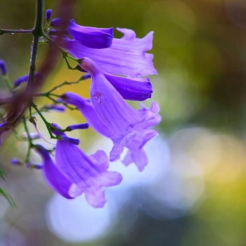 Descripción de foto - primer plano de flores de jacaranda que recién están abriendo.- crédito de foto - Decoración.IN