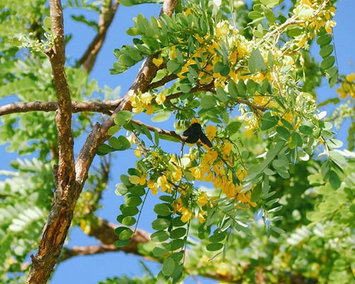 Descripción de foto -vista de las flores de Diphysa americana durante el día. - Crédito de foto - Árboles