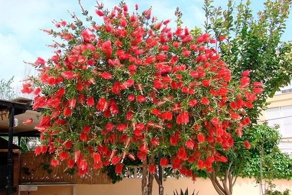 Descripción de foto - vista de un árbol de calistemo rojo con todas sus flores abiertas. - Crédito de foto - Llavors