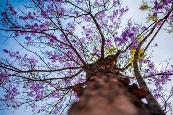 Descripción de foto - vista desde abajo de un árbol de guayacán con vista a sus ramas llenas de flores. - Crédito de foto - Leonardo