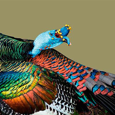 Descripción de la foto para personas con discapacidad visual - Acercamiento del rostro del Pavo ocelado. - Crédito de foto - Mundo Aves