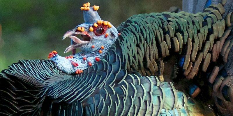 Descripción de la foto para personas con discapacidad visual - Acercamiento del rostro y las plumas del pavo ocelado. - Crédito de foto - Arlene Koziol