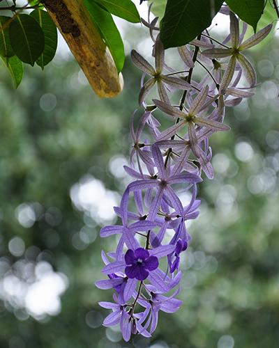 Descripcicón de foto - Vista del nazareno, de color púrpura, colgando de las ramas de un árbol. - Crédito de foto - Manolo Grajeda