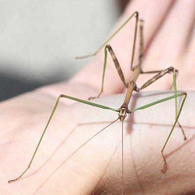 Descripción de la foto para personas con discapacidad visual: quiebrapalitos Diapheromeridae, colocado en la mano de una persona. (Crédito de foto: Even Dankowicz)