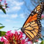 Mariposa monarca en Guatemala