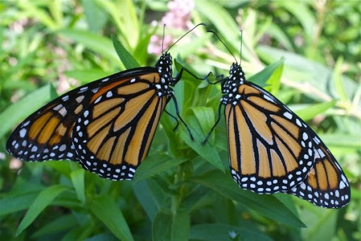 Descripción de la foto para personas con discapacidad visual: mariposa monarca macho y hembra posados en una hoja. (Crédito de foto: Erika)