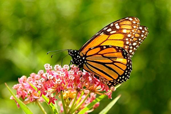 Descripción de la foto para personas con discapacidad visual: mariposa monarca posada en una flor de color rosado. (Crédito de foto: Santuario de Mariposas monarca)