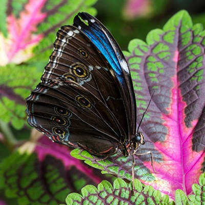 Descripción de la foto para personas con discapacidad visual: mariposa morfa visa con las alas cerradas, mientras se posa en una hoja. (Crédito de foto: Freepik)