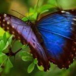 Mariposa morfo azul en Guatemala