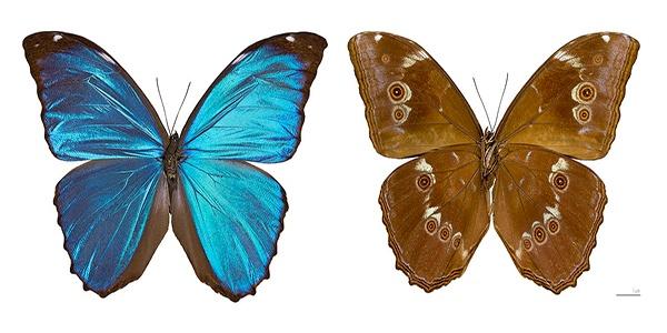 Descripción de la foto para personas con discapacidad visual: de lado izquierdo una morfa azul macho de color azul intenso, de lado derecho una morfa hembra de color café. (Crédito de foto: Wikiwand)