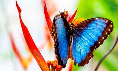 Descripción de la foto para personas con discapacidad visual: mariposa morfo azul sostenida de la flor de un árbol. (Crédito de foto: Turismo de Observación)