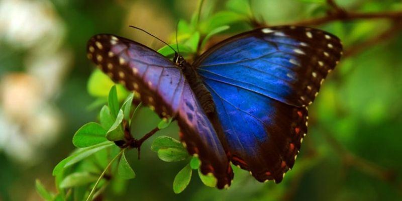 Descripción de la foto para personas con discapacidad visual: mariposa morfo azul posada en una rama de árbol con las alas a medio extender. (Crédito de foto: Sooluciona)