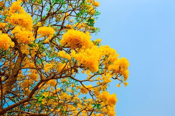 Vista de las flores de tabebuia aurea, una especie de color amarillo y verde. - Crédito de foto - Freepik