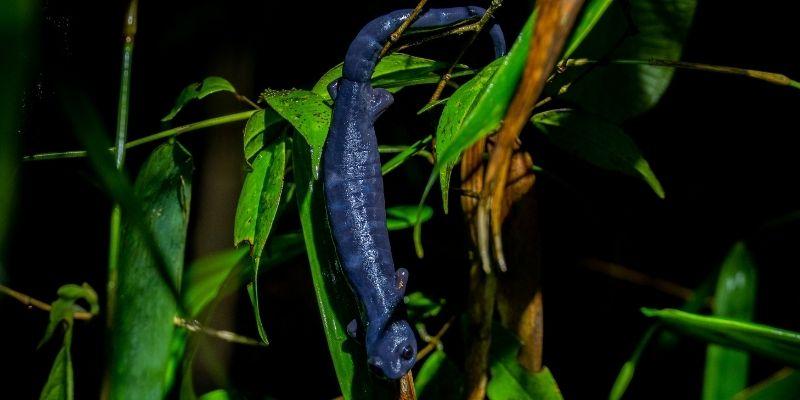 Salamandra Q'eqom de Guatemala