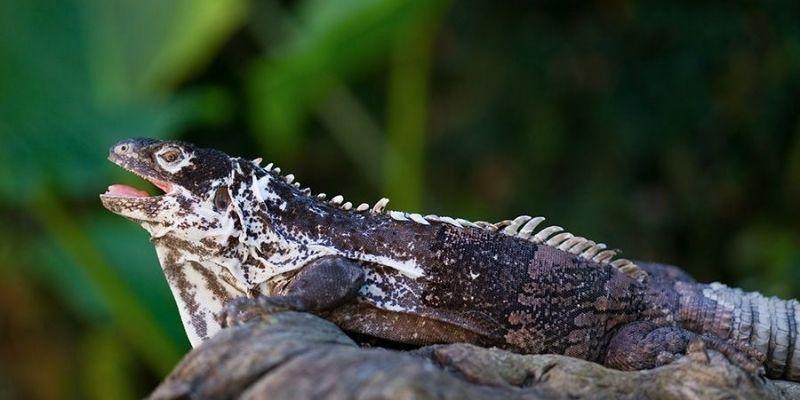 Iguana de órgano en Guatemala.