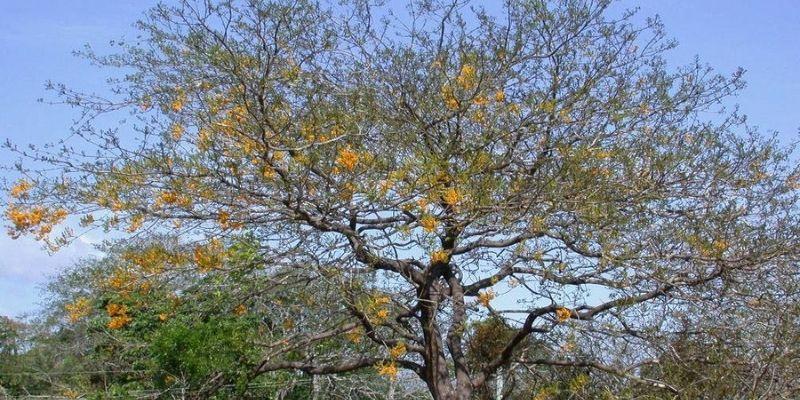 Árbol de hormigo en Guatemala-