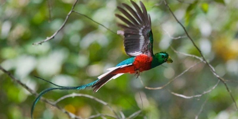 El Quetzal guatemalteco