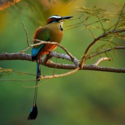El ave Momot de corona azul-