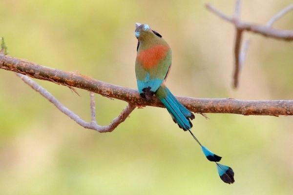 El ave Momot de corona azul..