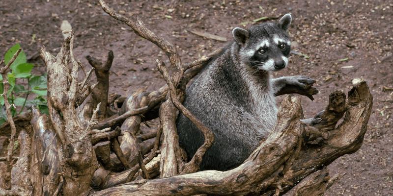 El mapache en Guatemala