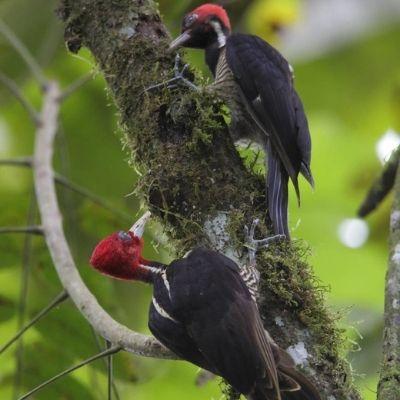 El pájaro picamaderos de Guatemala-