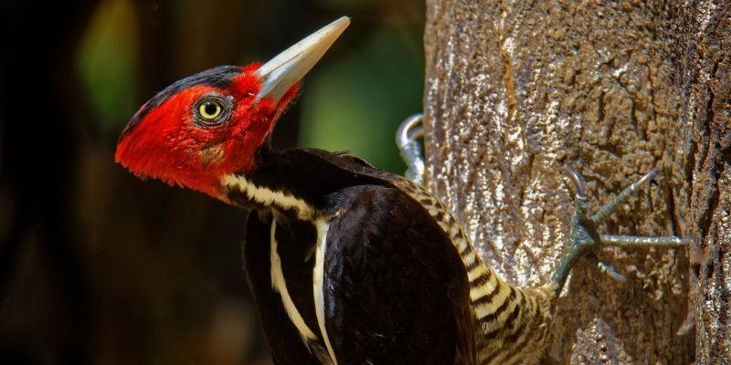 El pájaro picamaderos de Guatemala