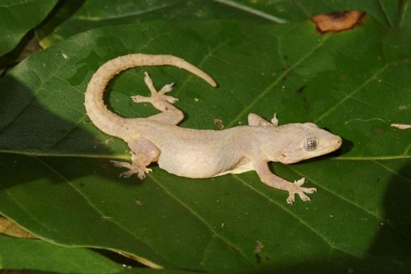 Gecko común en Guatemala -