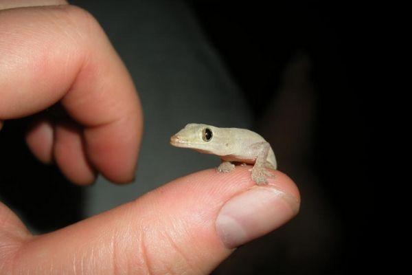 Gecko común en Guatemala.