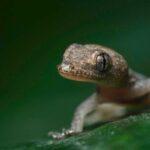 Gecko común en Guatemala