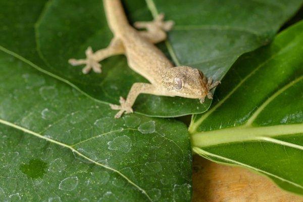Gecko común en Guatemala_