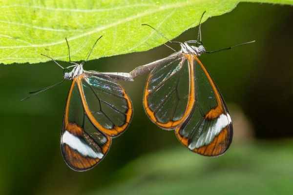 Mariposa alas de cristal en Guatemala-