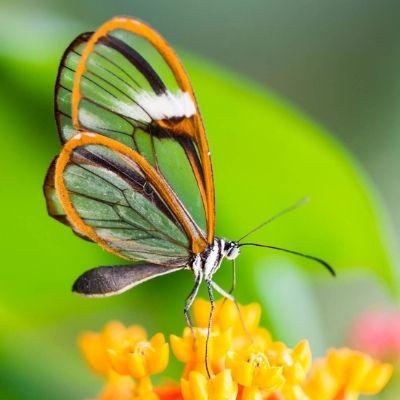 Mariposa alas de cristal en Guatemala..