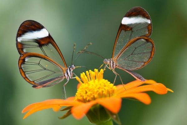 Mariposa alas de cristal en Guatemala.