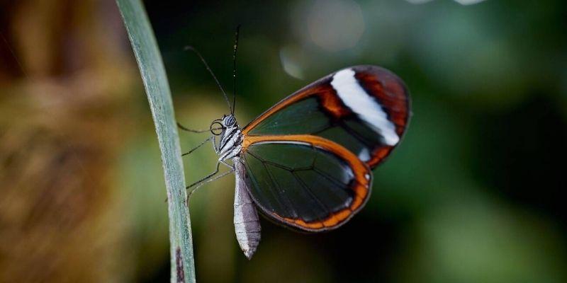 Mariposa alas de cristal en Guatemala
