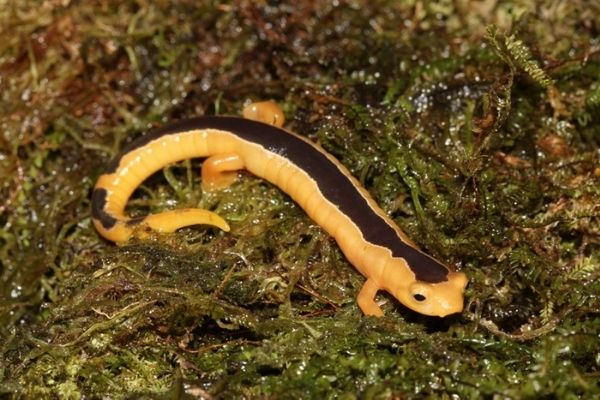 Salamandra trepadora de Jackson de Guatemala-
