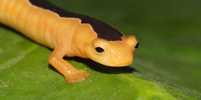 Salamandra trepadora de Jackson de Guatemala