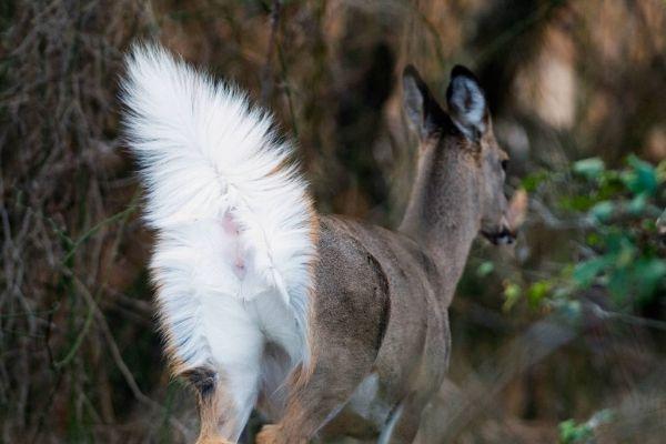Venado de cola blanca en Guatemala-