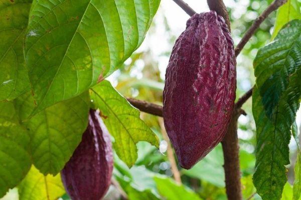 Árbol de Cacao en Guatemala-1