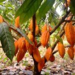 Árbol de Cacao en Guatemala