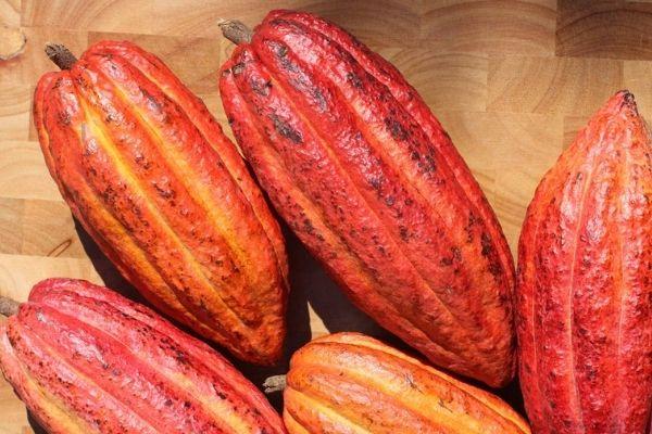 Árbol de Cacao en Guatemala.