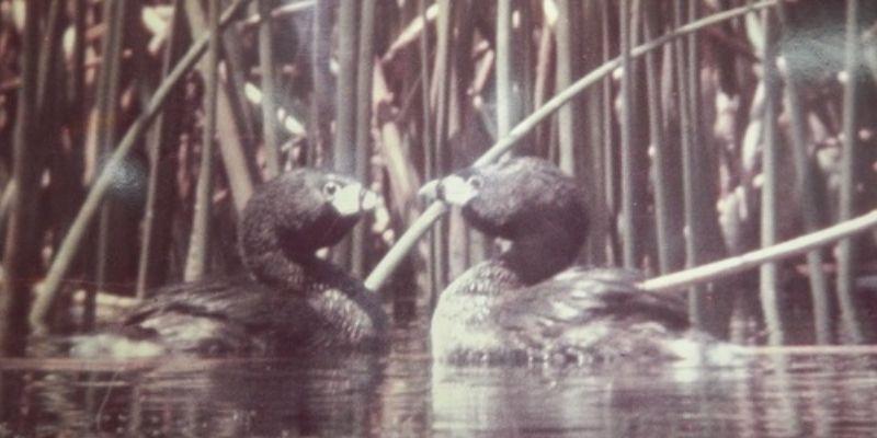 Descripción de la foto para personas con discapacidad visual: imágenes antiguas de dos patos poc en el agua y rodeados de plantas acuáticas. (Crédito de foto: hagomitarea)