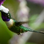 Colibrí tijereta en Guatemala