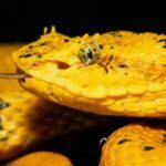 Serpiente cantil de pestañas en Guatemala