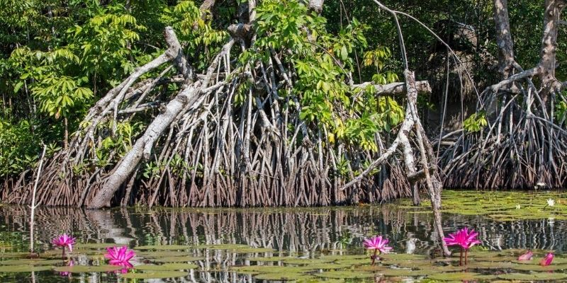 Tipos de manglares de Guatemala
