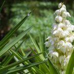 Flor de izote de Guatemala