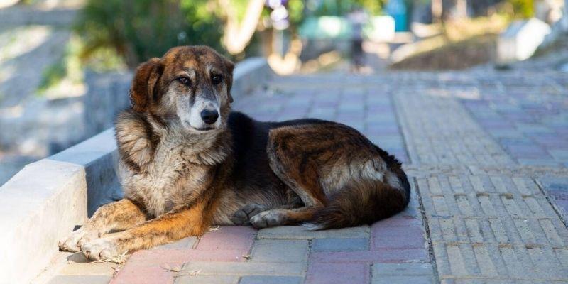 Requisitos para adoptar una mascota en Guatemala