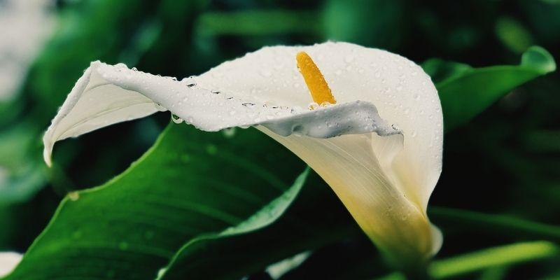 Flor de cartucho en Guatemala
